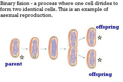 Binary fission is to asexual reproduction as